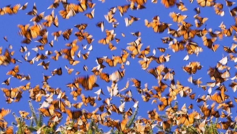 Перелет бабочек из Канады в Мексику