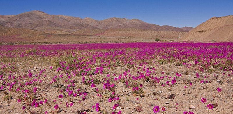 Пустыня в цвету Атакама
