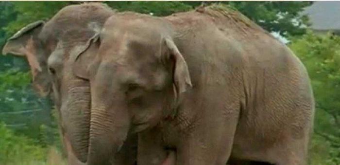 Дружб двух цирковых слонов