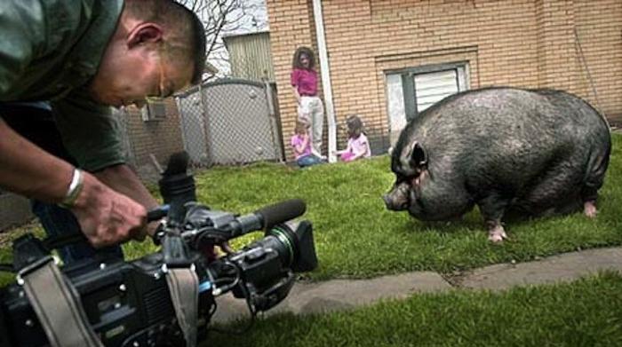 Свинья спасает свою хозяйку