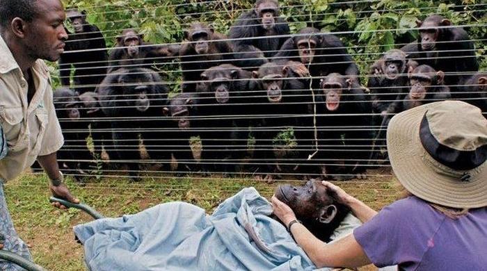 Похороны шимпандзе