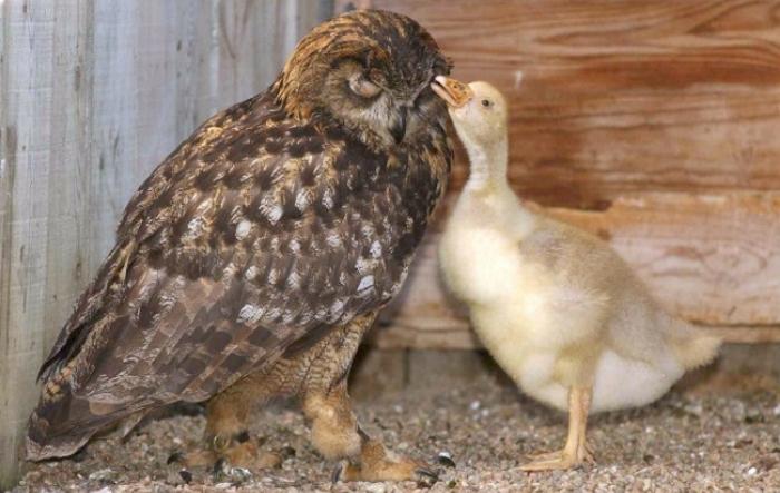Сова воспитывает гусенка