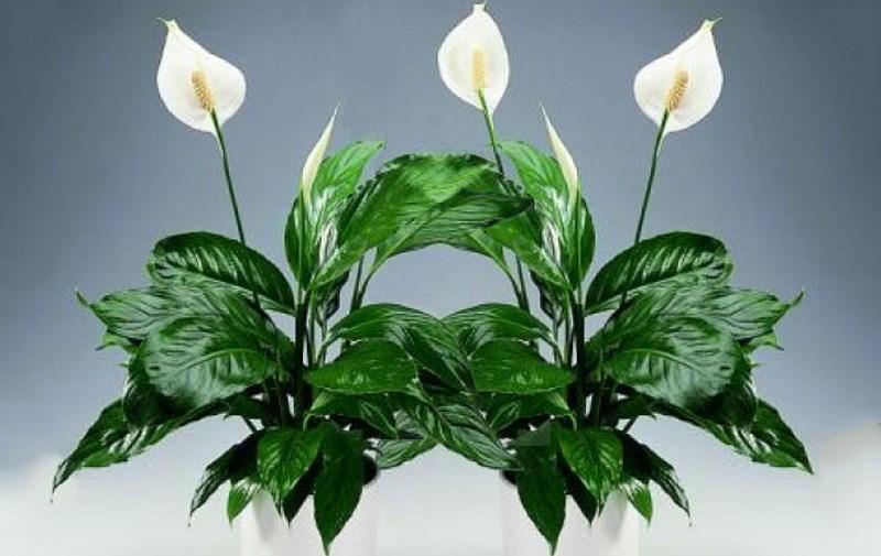 Растение спатифиллум