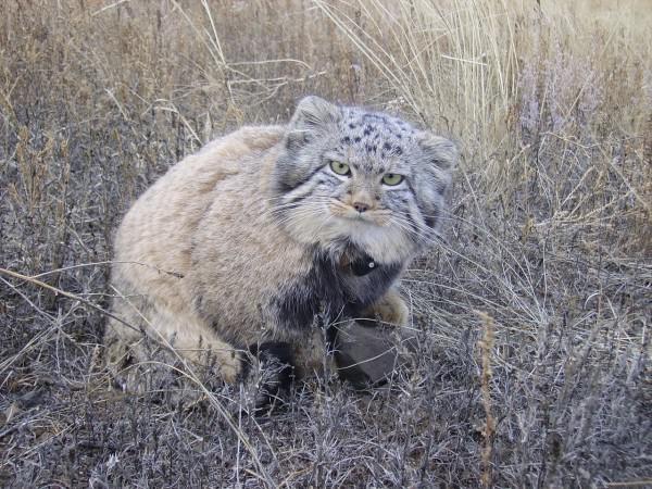 Манул – хищное млекопитающее из семейства кошачьих
